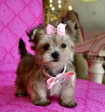 Tiny Teacup Yorkie Maltese Mix Like I Would Ever Be Allowed To Have This Adorable Creature Cute Dogs Morkie Puppies Teacup Puppies