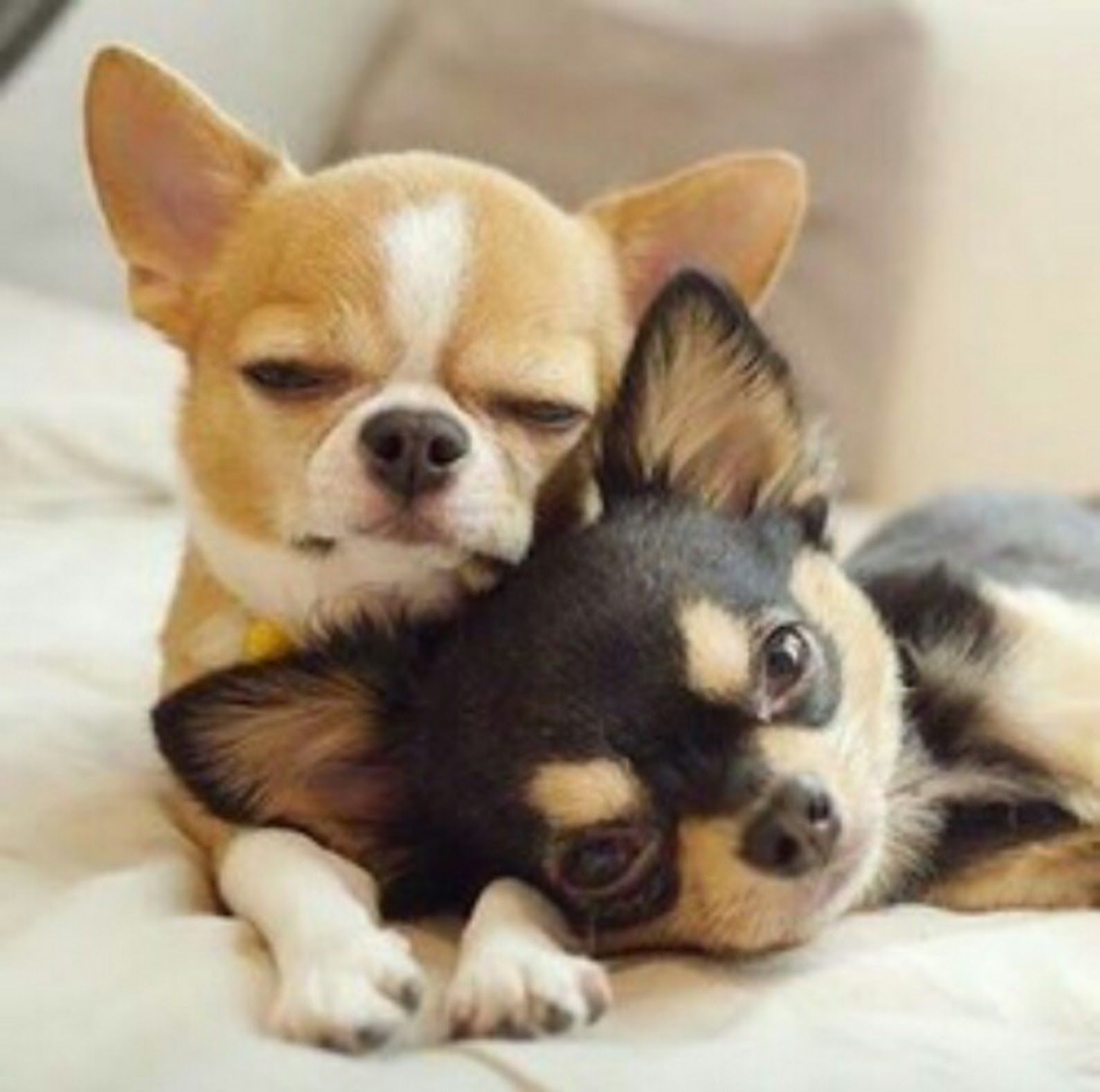 Image by Ramin on PCHFrontPage Chihuahua puppies, Pets