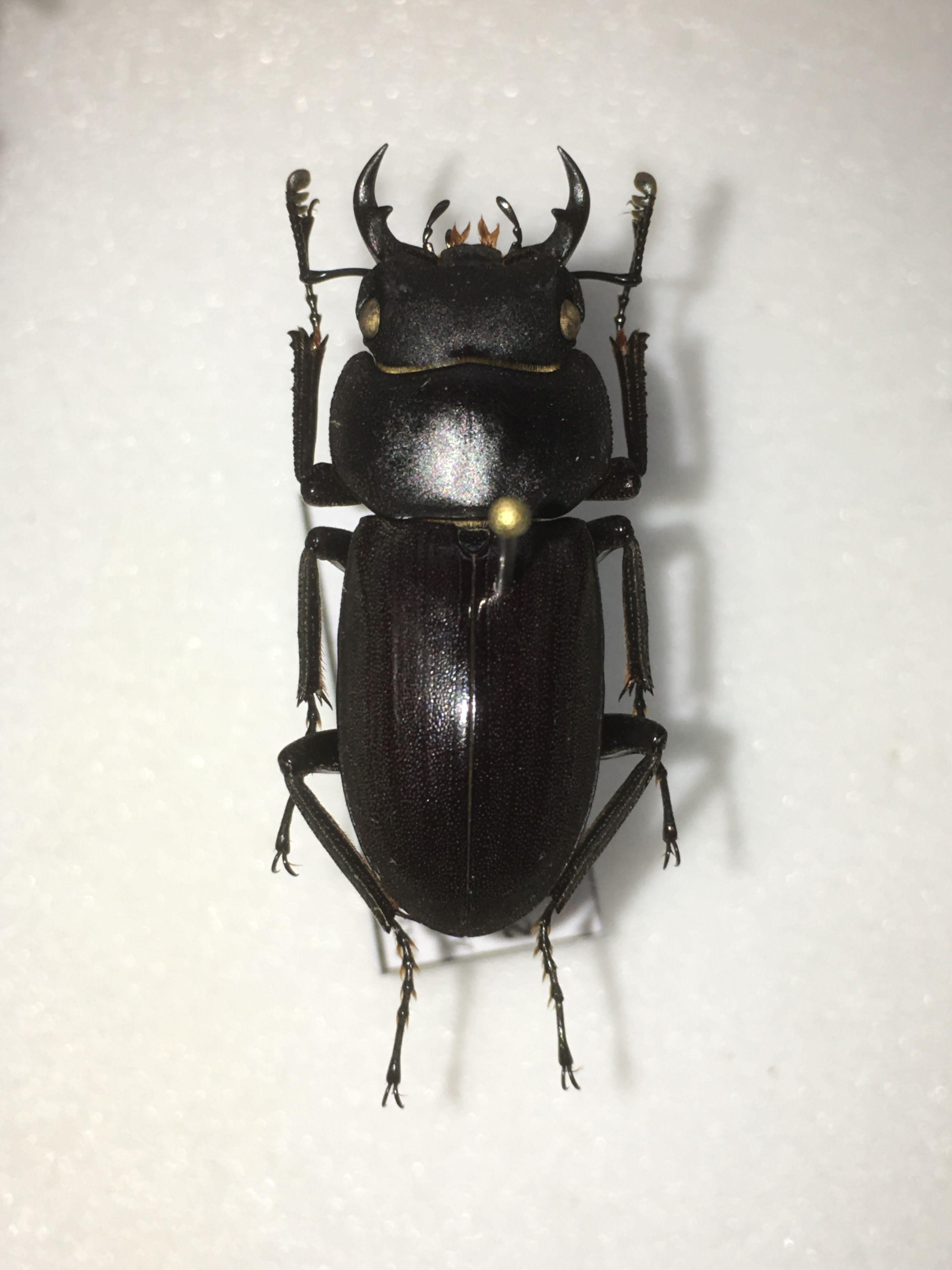 Dorcus amamianus Nomura, 1964  Male