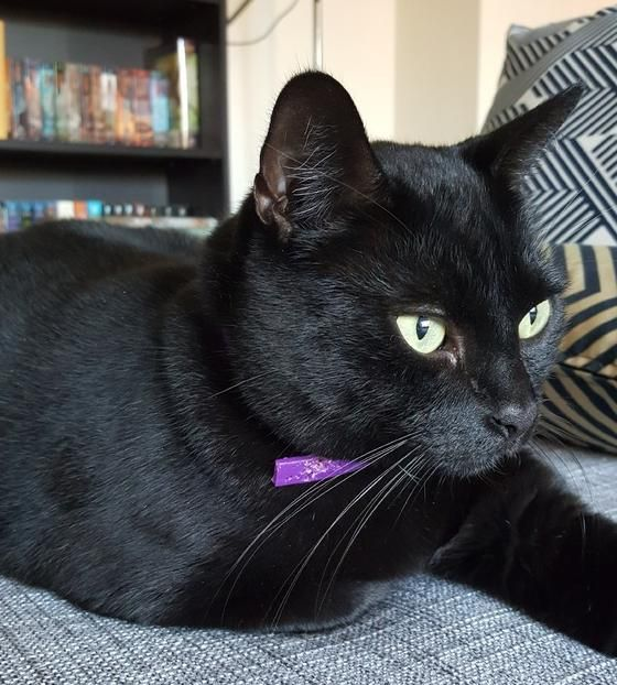 Sweet Black Cat For Adoption By Owner In Los Angeles Ca Adopt Ares Today Cat Adoption Cats Black Cat