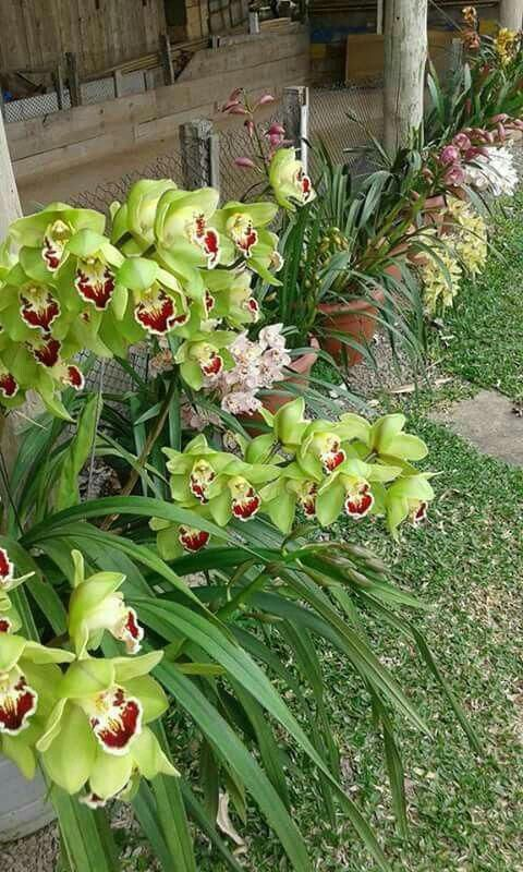 Orchids Orchids Cymbidium Orchids Dendrobium Orchids Beautiful Orchids