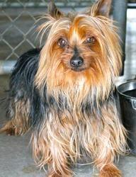 Adopt Gigi On Petfinder Yorkie Yorkie Lovers Dog Adoption