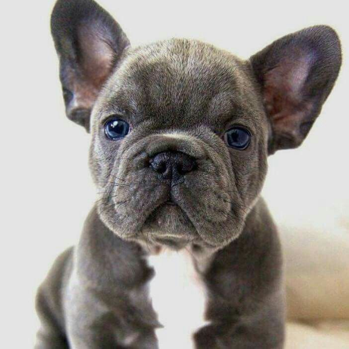 Wanna Snuggle Cute French Bulldog Blue French Bulldog Puppies
