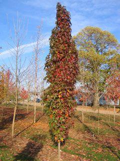 Columnar Sweet Gum Tree Slender Silhouette Sweetgum Columnar Trees Fall Color Trees Trees To Plant