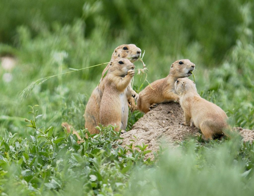 Longmont prairie dog colony may be moved to Rocky Flats