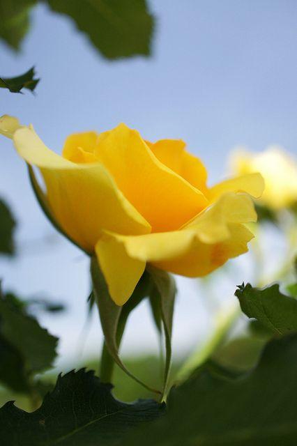 'Spice so nice'   Climbing rose, @ T. Kiya