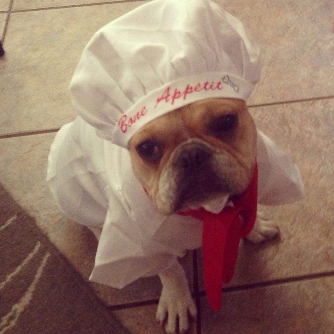The French Chef French Bulldog In Costume Pet Halloween