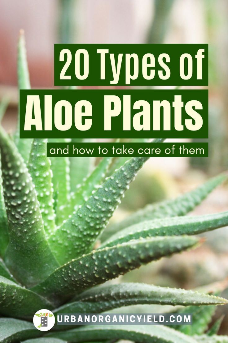 List of 20 Different Types Of Aloe Plants with Pictures in
