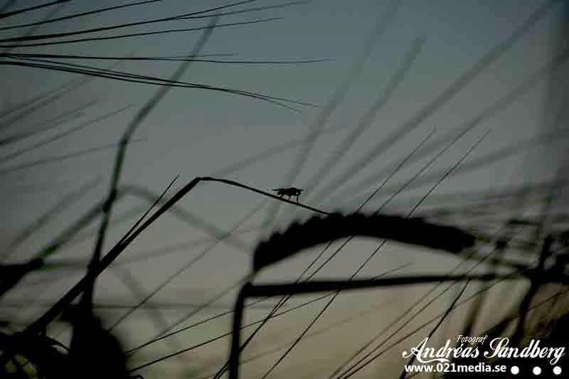 Flugan på råget