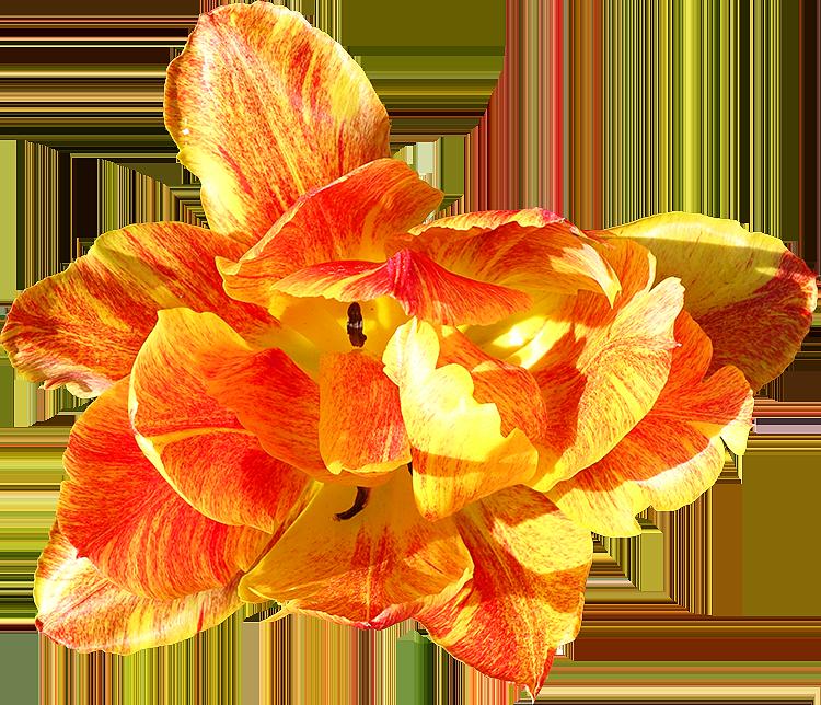 Top Photo gratuites de fleurs détourées, idéal pour vos documents ou  SM37