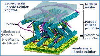 Parede celulósica - Só Biologia