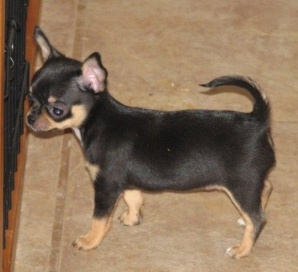Smiley X Will Black And Tan Female Smoothcoat Chihuahua Puppy