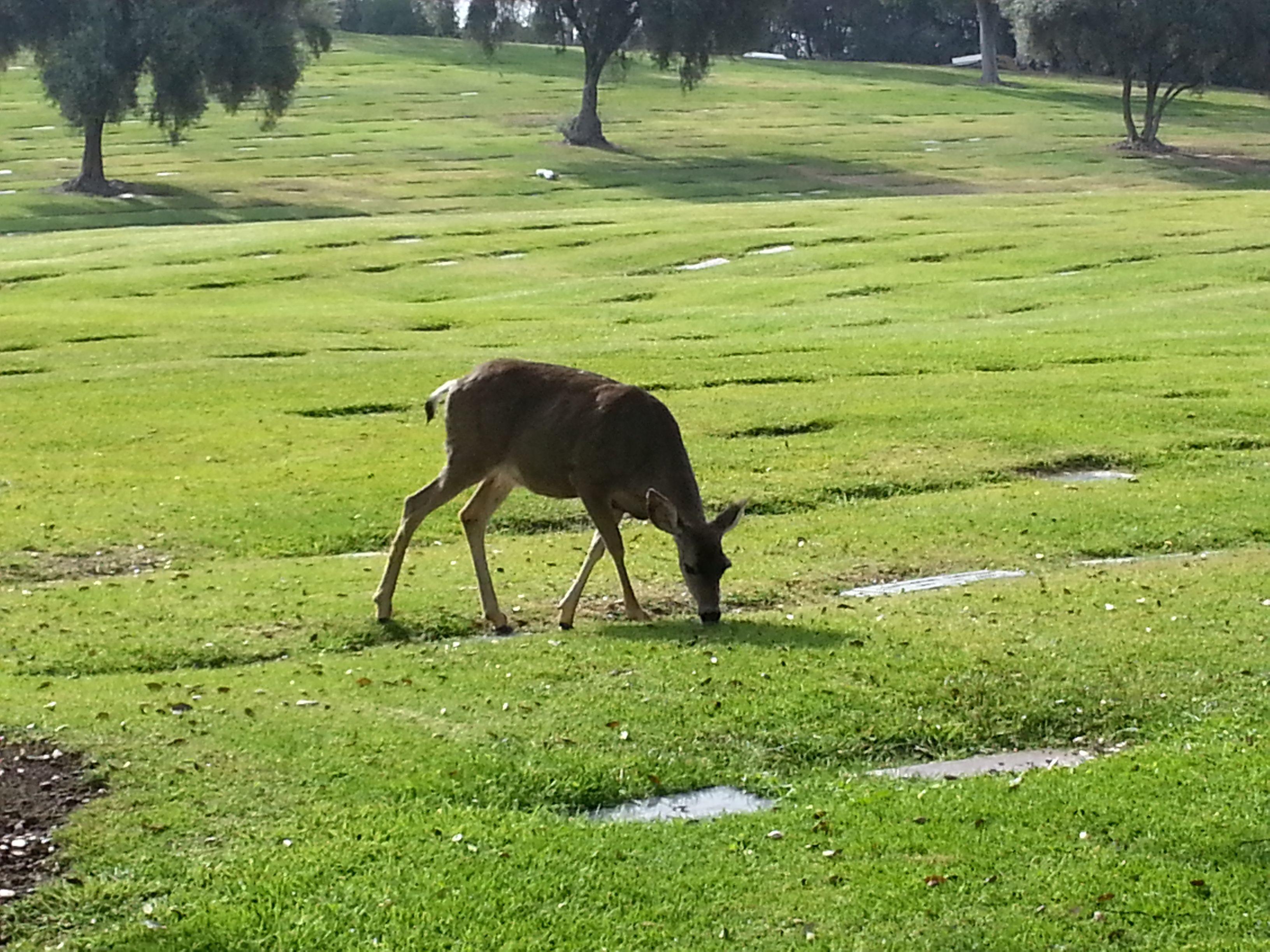 Deer Grazing Near Gate 17 Of Rose Hills Memorial Park In Whittier Calif Www Rosehills Com California Vacation Whittier Whittier California