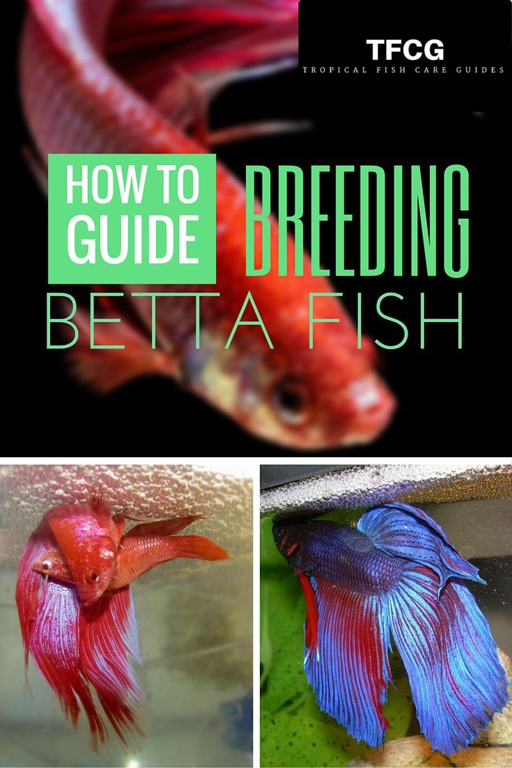 Breeding Betta Fish: 9 Proven Steps To Breed Betta Fish The Easy Way ...