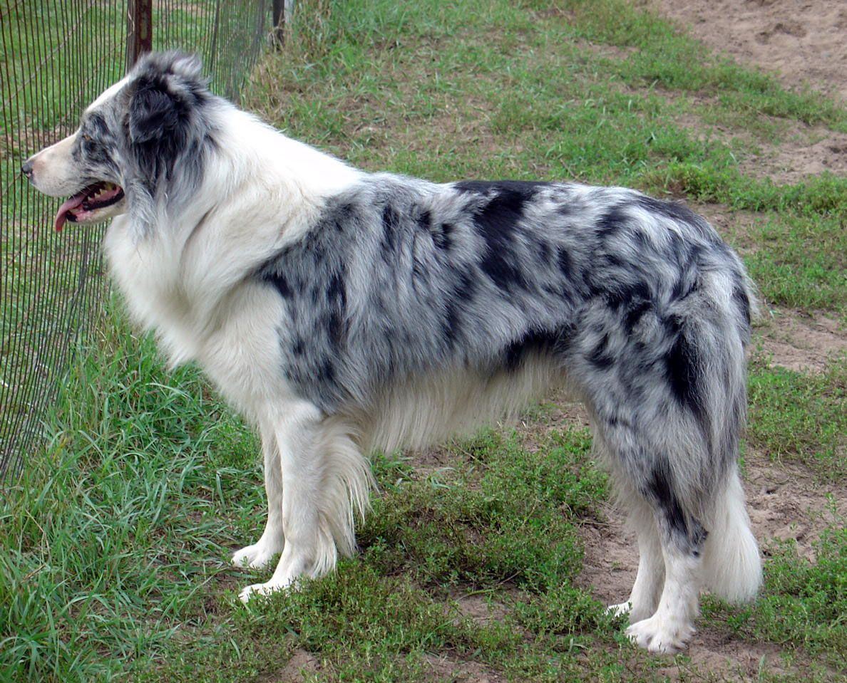 Brindle Merle Dog Colors Merle Pinterest Border Collies