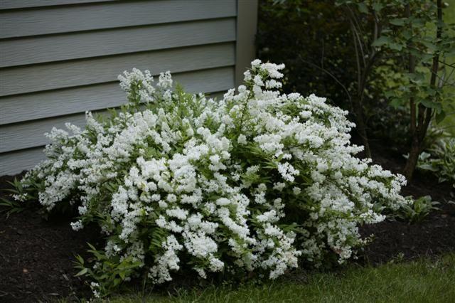 picture  deutzia gracilis slender deutzia gardening