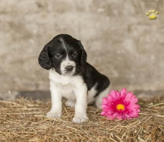 Gracie English Springer Spaniel Puppy For Sale In Mifflinburg Pa English Springer Spaniel Puppy Springer Spaniel Puppies Puppies