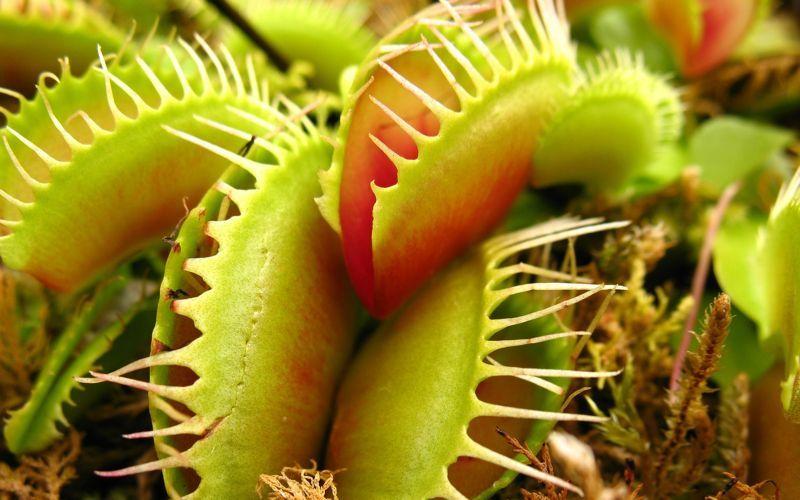 FAQ What should I feed my Venus flytrap? Venus fly trap