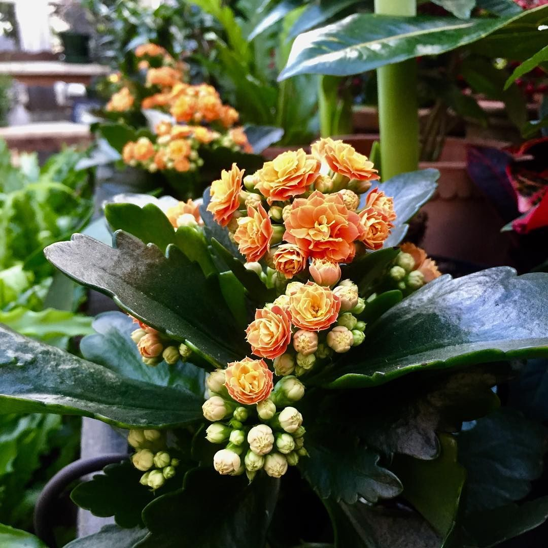 Kalanchoe Blossfeldiana is a type of flowering succulent