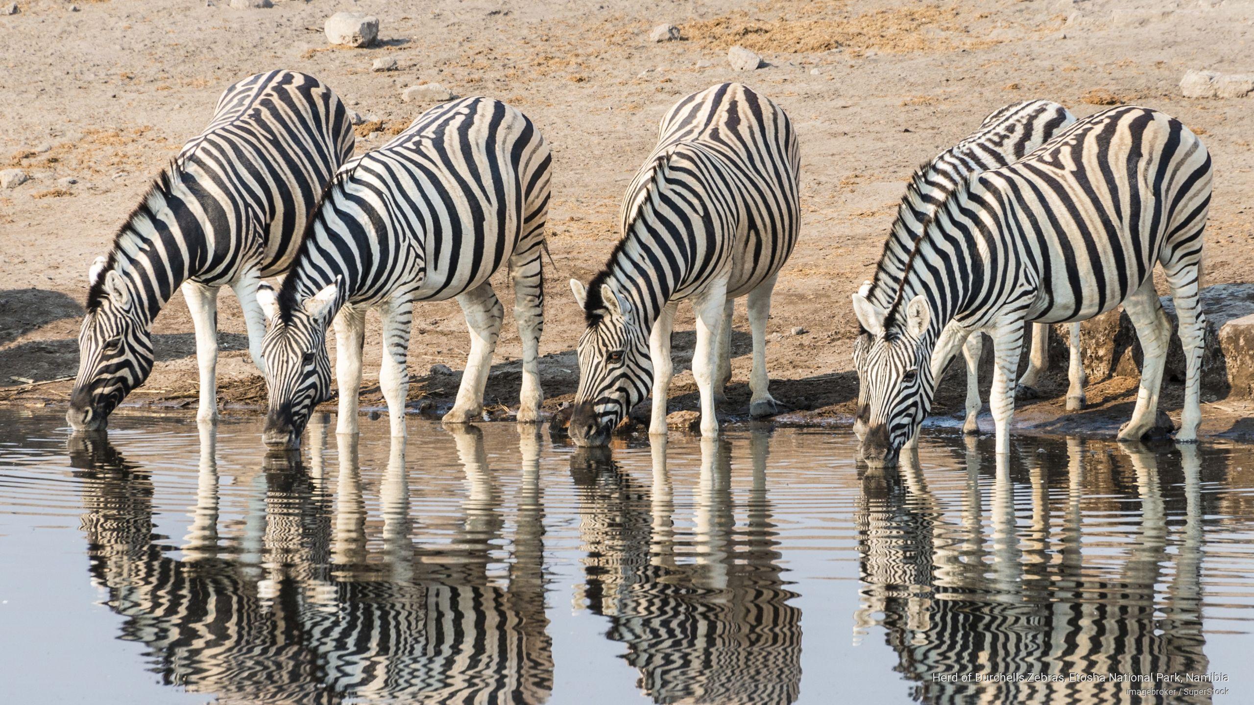 Herd of Zebras, Etosha N.P., Namibia by Imagebroker