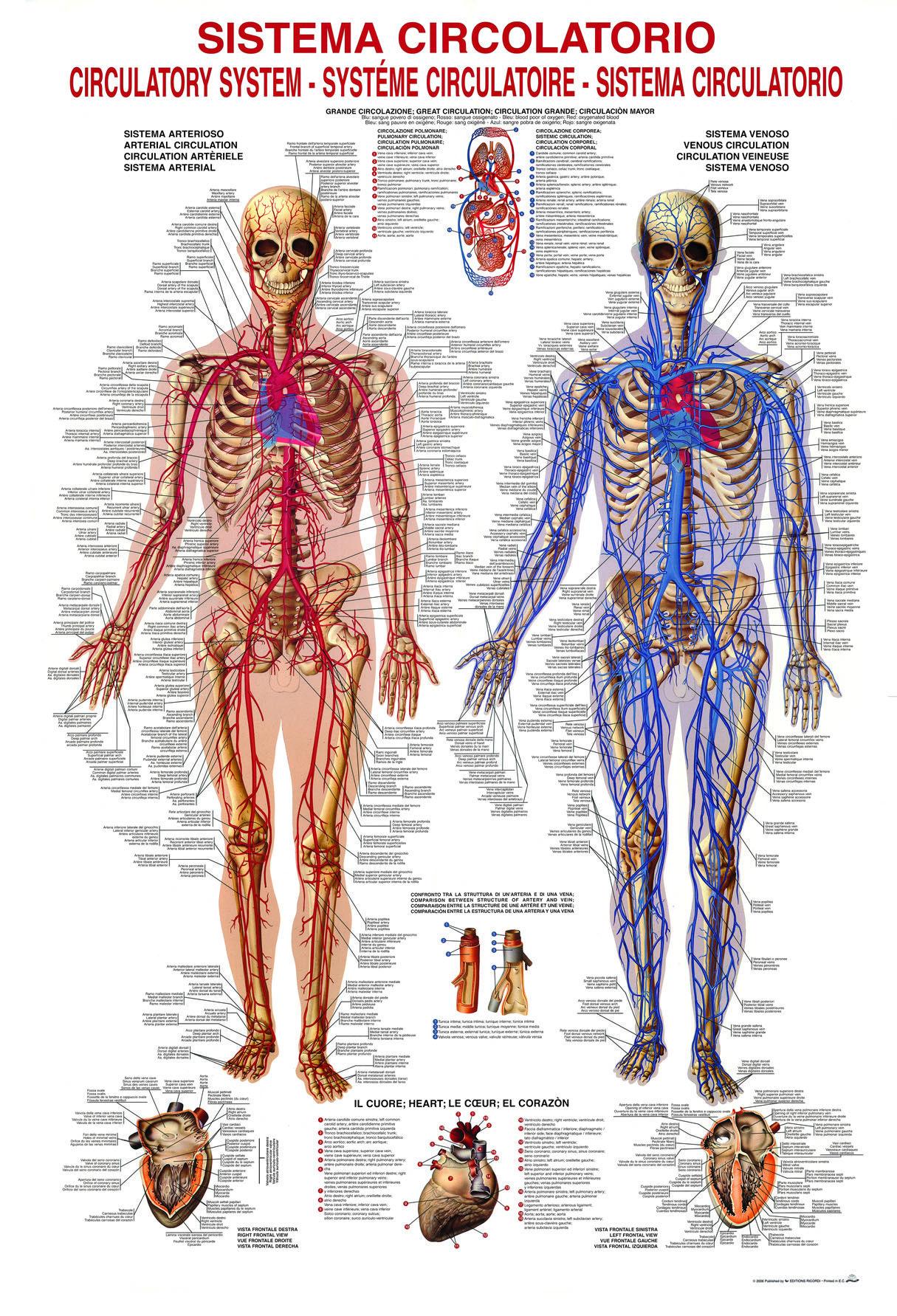 Circulatory System Science Puzzles Pieces 1000 1000 Pcs
