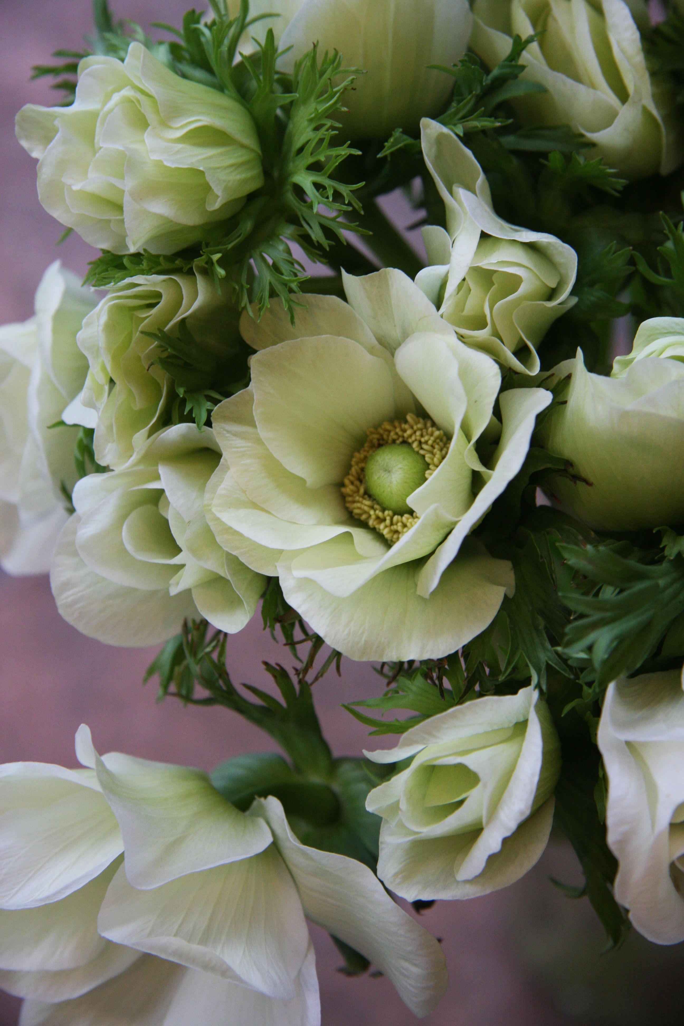 Каталог семян цветов с фото седек хозяйка старается