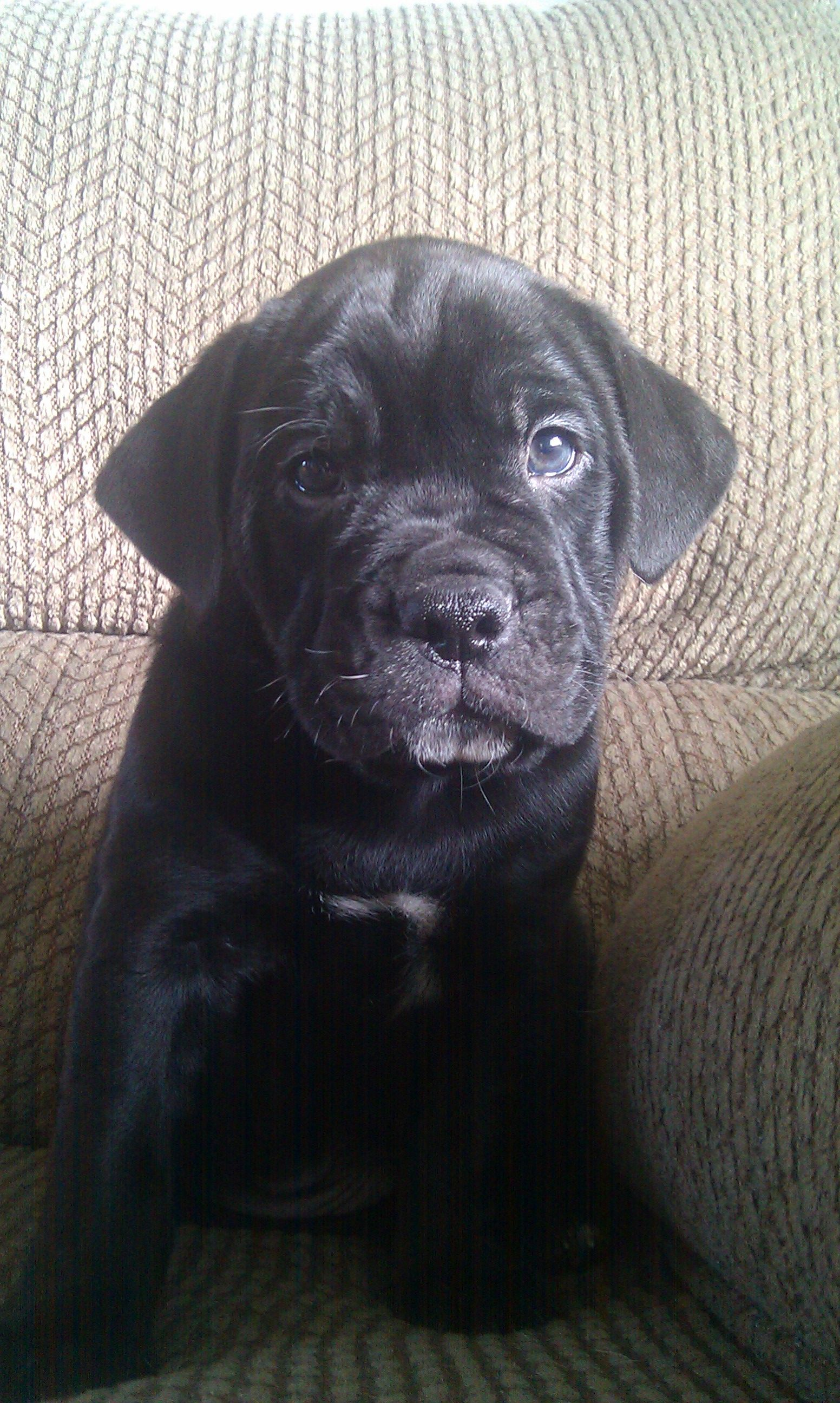 My New Puppy And English Bulldog Lab Mix A Bulladore Looks