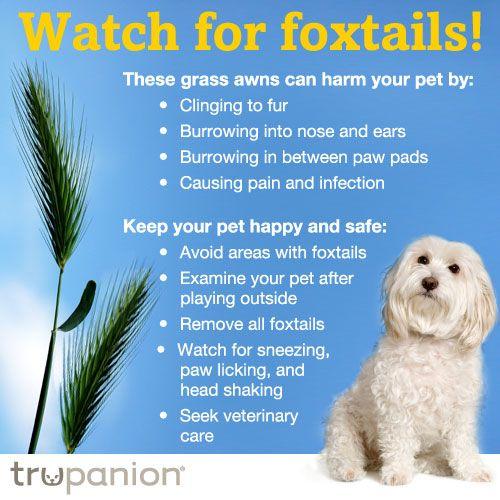 Pet Insurance Claim Of The Week Foxtail In Dog S Nose Dog Skin