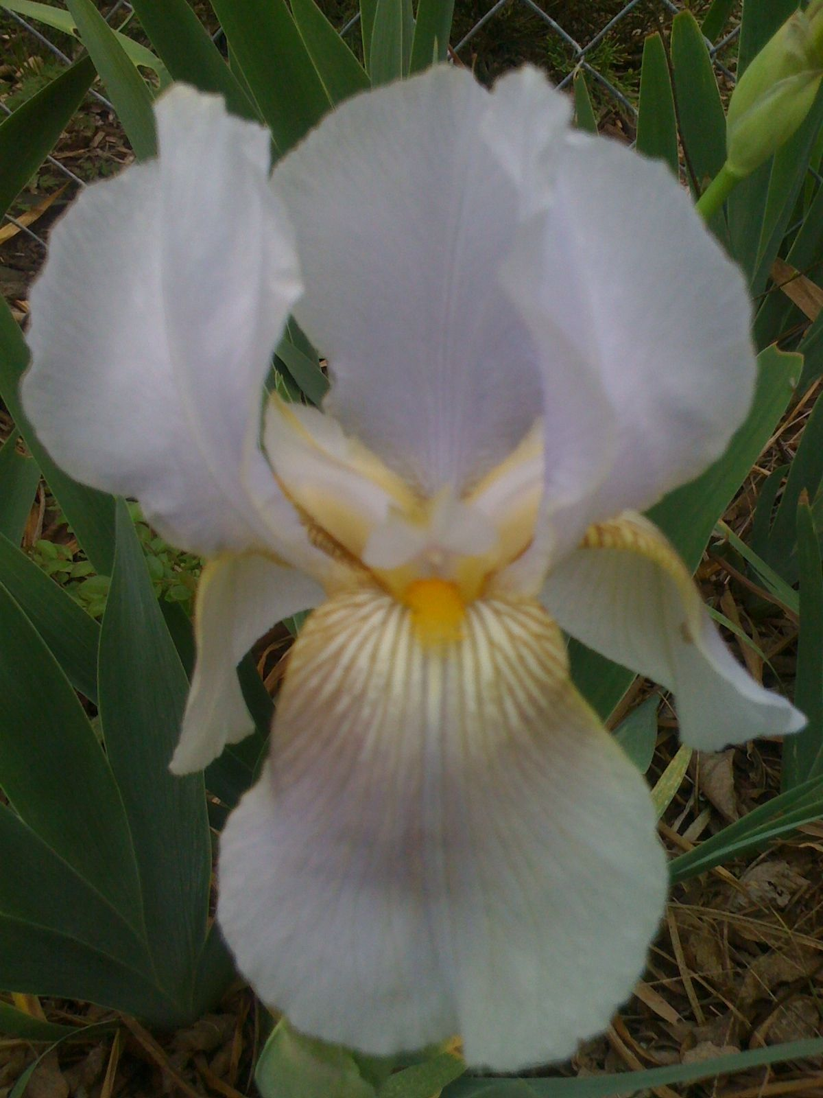 Bearded iris with just a touch of browny gold veining brown bearded iris with just a touch of browny gold veining izmirmasajfo