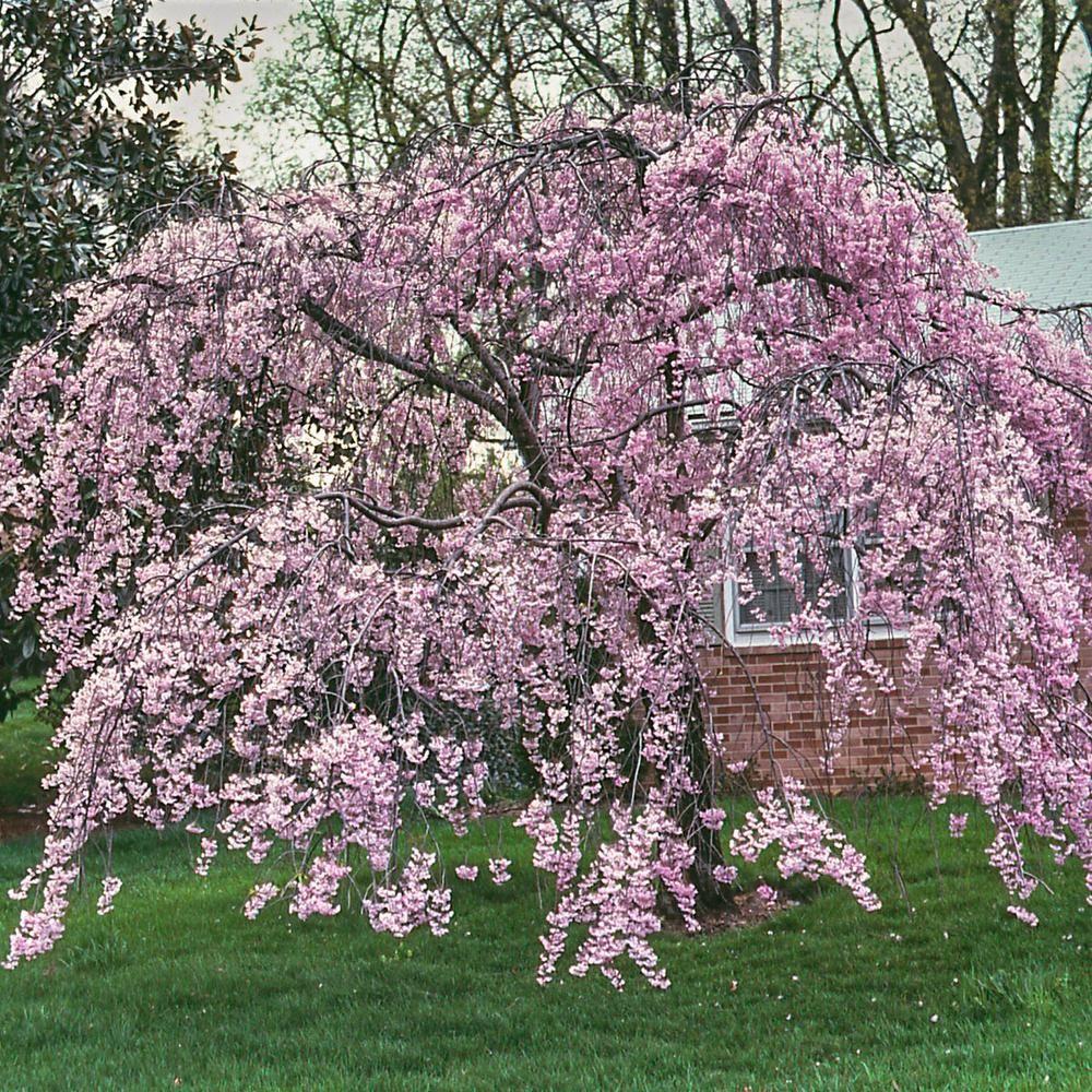 Yoshino Cherry Trees Blooming In Spring Flowering Cherry Tree Yoshino Cherry Tree Yoshino Cherry
