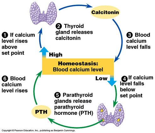 Calcitonin Thyroid Negative Feedback Loop Physiology Pinterest