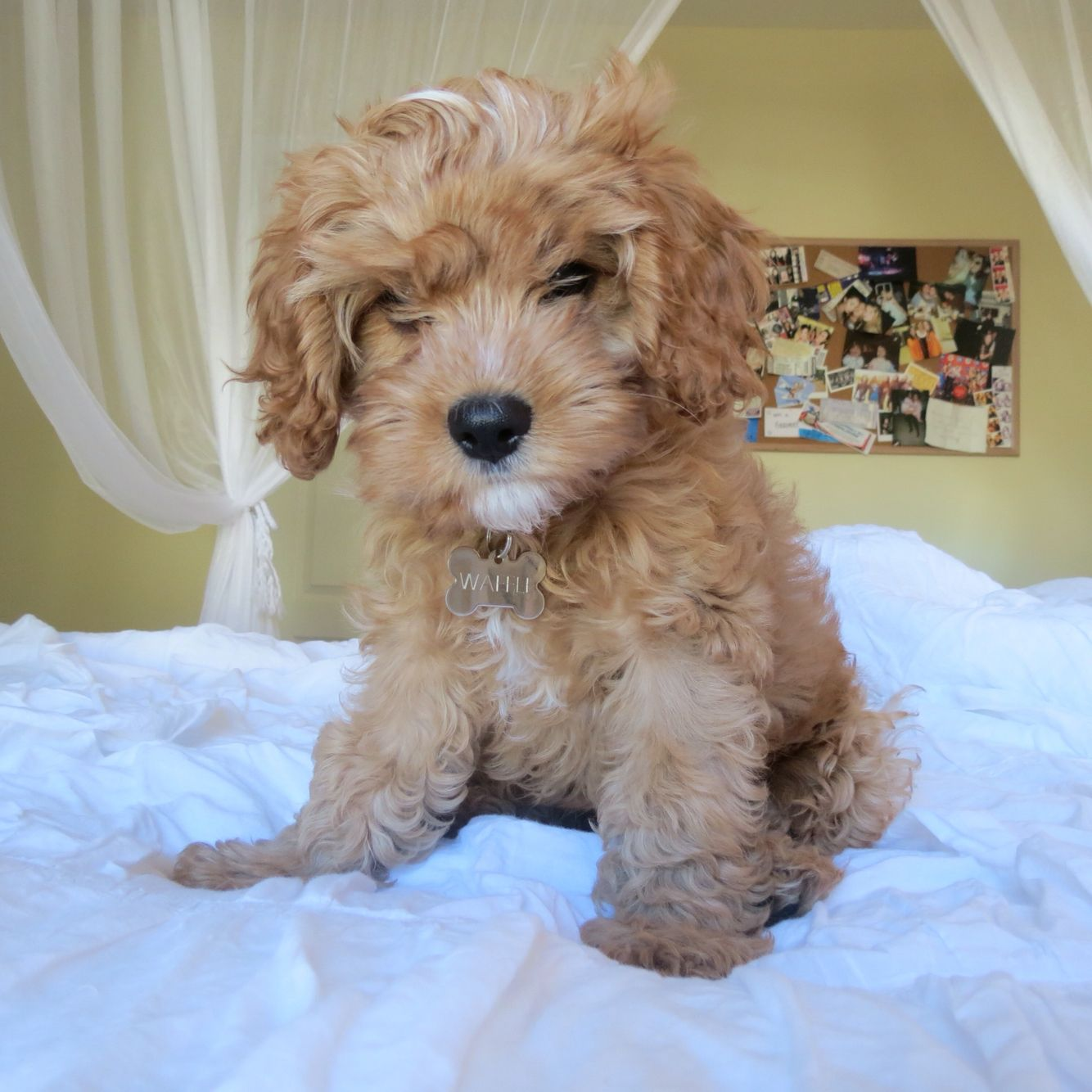 Waffle The Cavapoo Cute Dog Pictures Baby Puppies Cute Animals