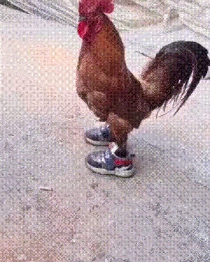 Chicken wearing shoes   funny pictures