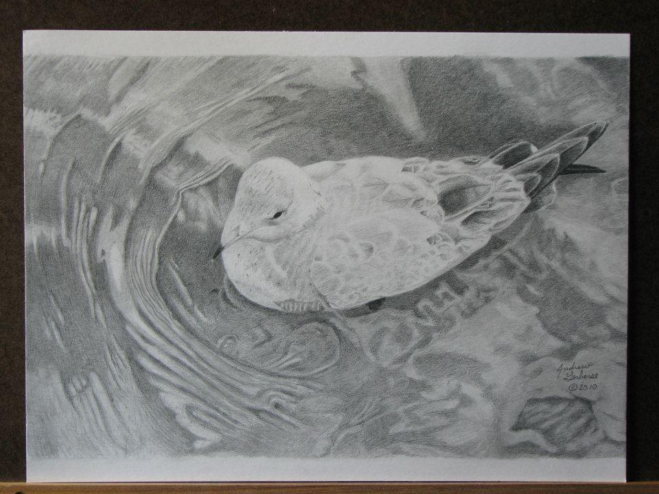 Graphite pencil drawing art of seagull on water www facebook com memoriesingraphite