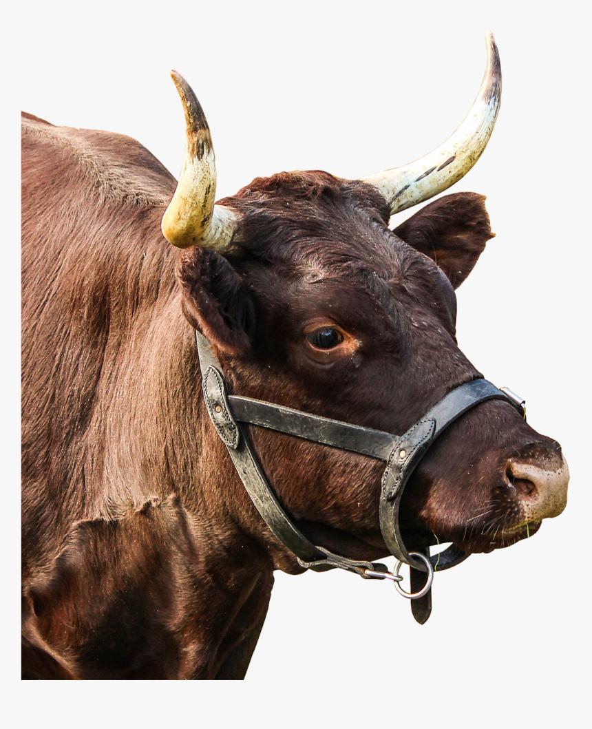 Google Image Result For Https Www Kindpng Com Picc M 196 1962046 Bull Horns Png Real Bull Head Png Transparent Png Cattle Bull Horns Bull