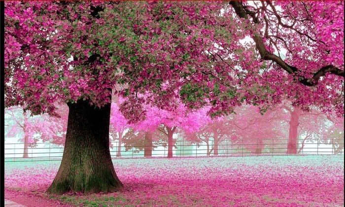 Purple Cherry Tree Photo Wall Paper Roll Tv Background 3d Wallpaper Seamless Wal Beautiful Facebook Cover Photos Facebook Cover Photos Facebook Cover Images