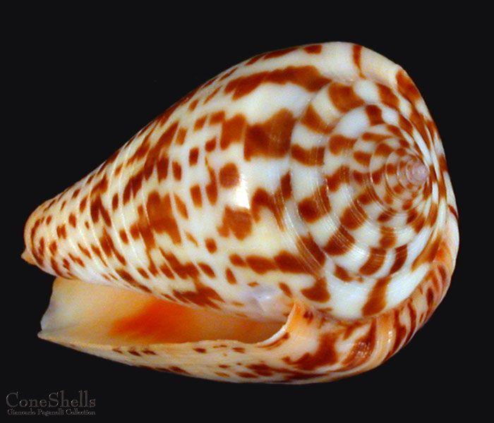 Conus (Phasmoconus) maculospirus (Pilsbry, 1922) voir Conus (Ph) inscriptus 532d50c58e2a457938338ce9fca3771d