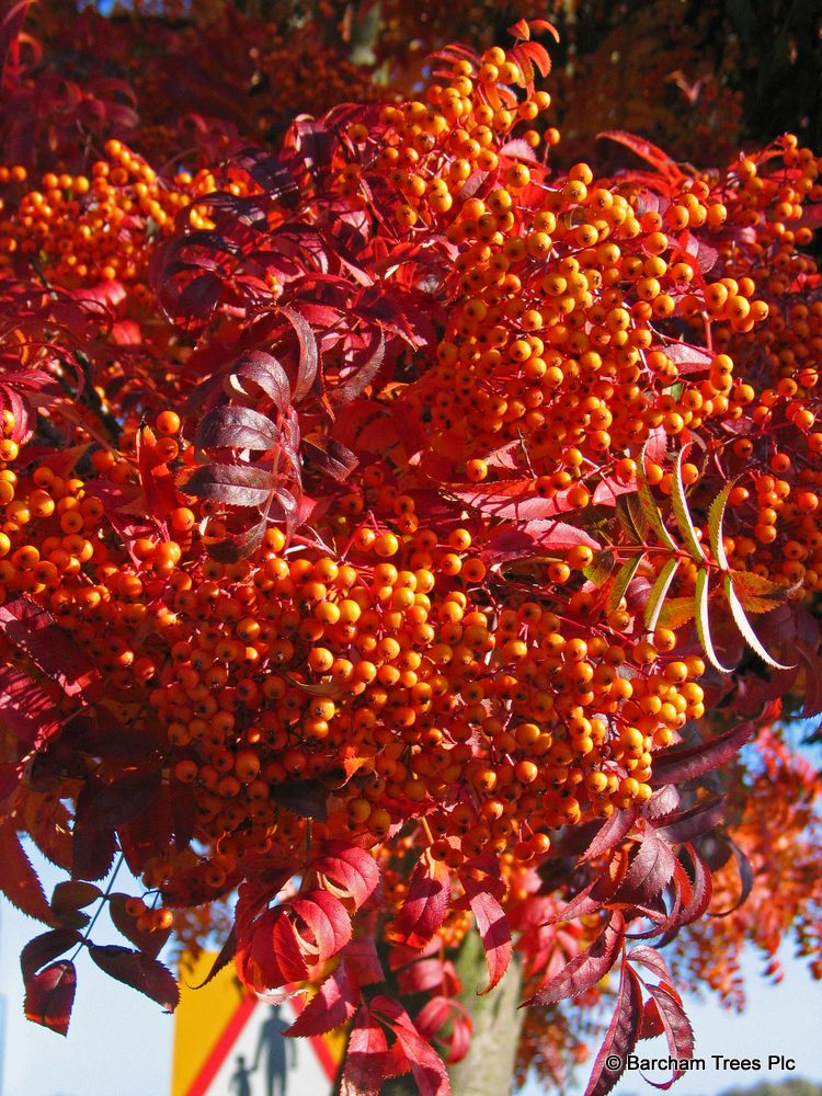 sorbus commixta embley autumn colour and fruit chinese scarlet rowan wow four seasons of. Black Bedroom Furniture Sets. Home Design Ideas