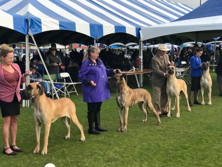 Great Danes In The Ring At The Akc All Breed Show Palm Springs