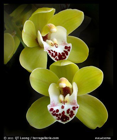 Cymbidium Dame Catherine 'Spring Day' Flower. A hybrid orchid (color)