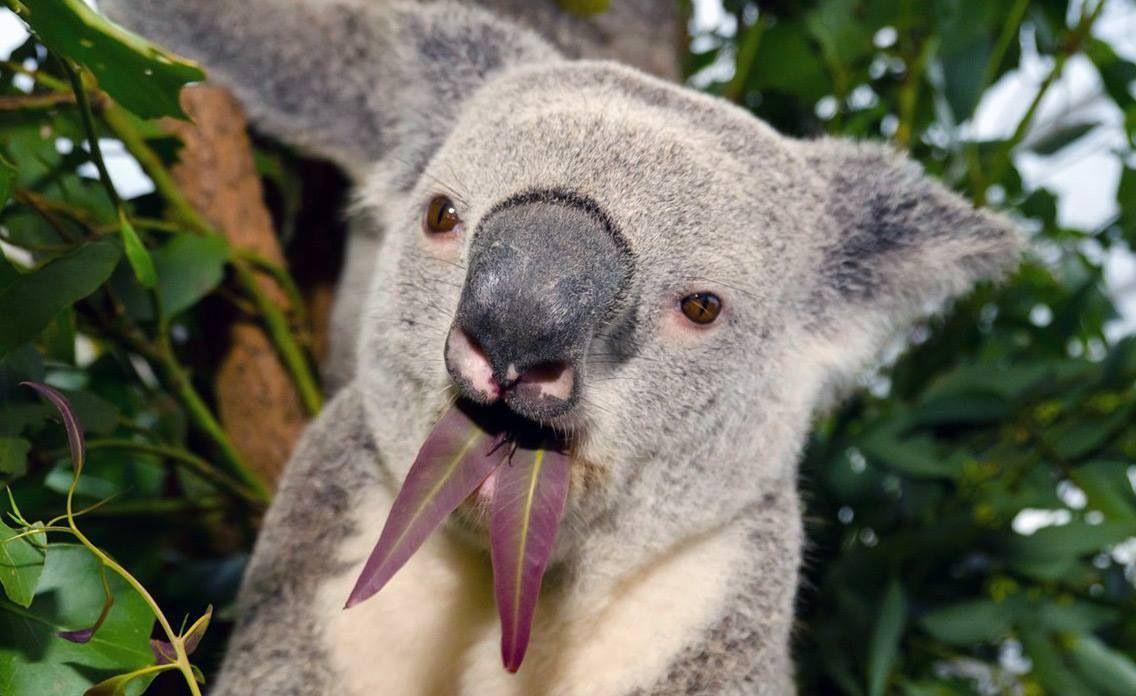 Atemberaubend Süße Koala Malvorlagen Fotos - Malvorlagen-Ideen ...