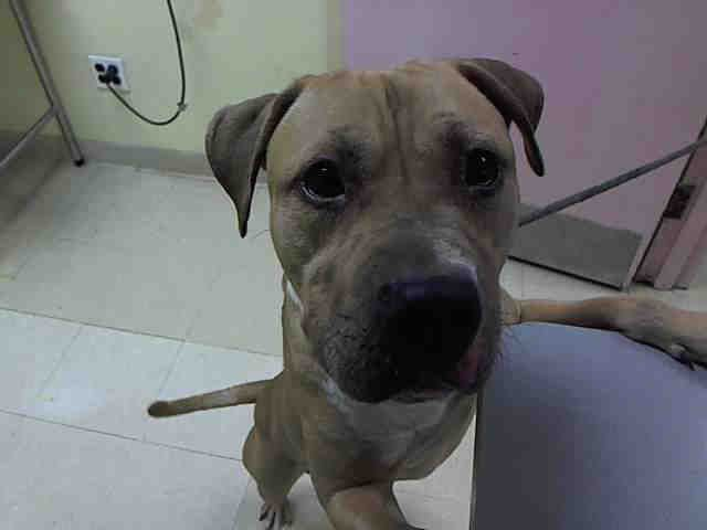ADOBO A1035569 Help us Save NYC AC&C Shelter Dogs