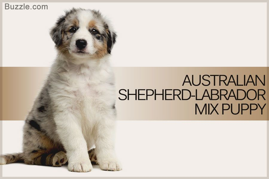 Fascinating Facts About The Australian Shepherd Labrador Mix Breed