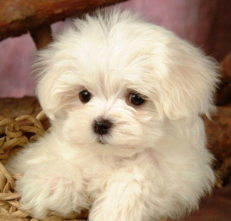 Maltese Puppies   Adopted Dog   Albuquerque, NM