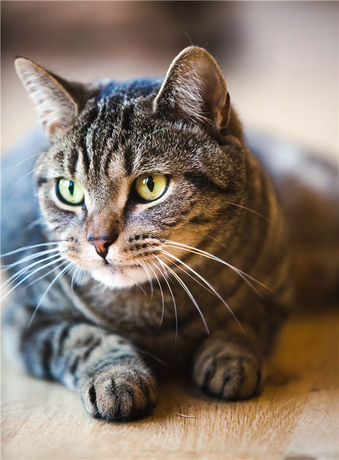 What Kind Of Cat Is A Tabby 30 Tabby Cat Photos Grey Tabby Cats Cute Cats Cats