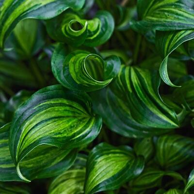 Love This hosta! Jungle Pinterest Arbustos, Plantas y Cactus