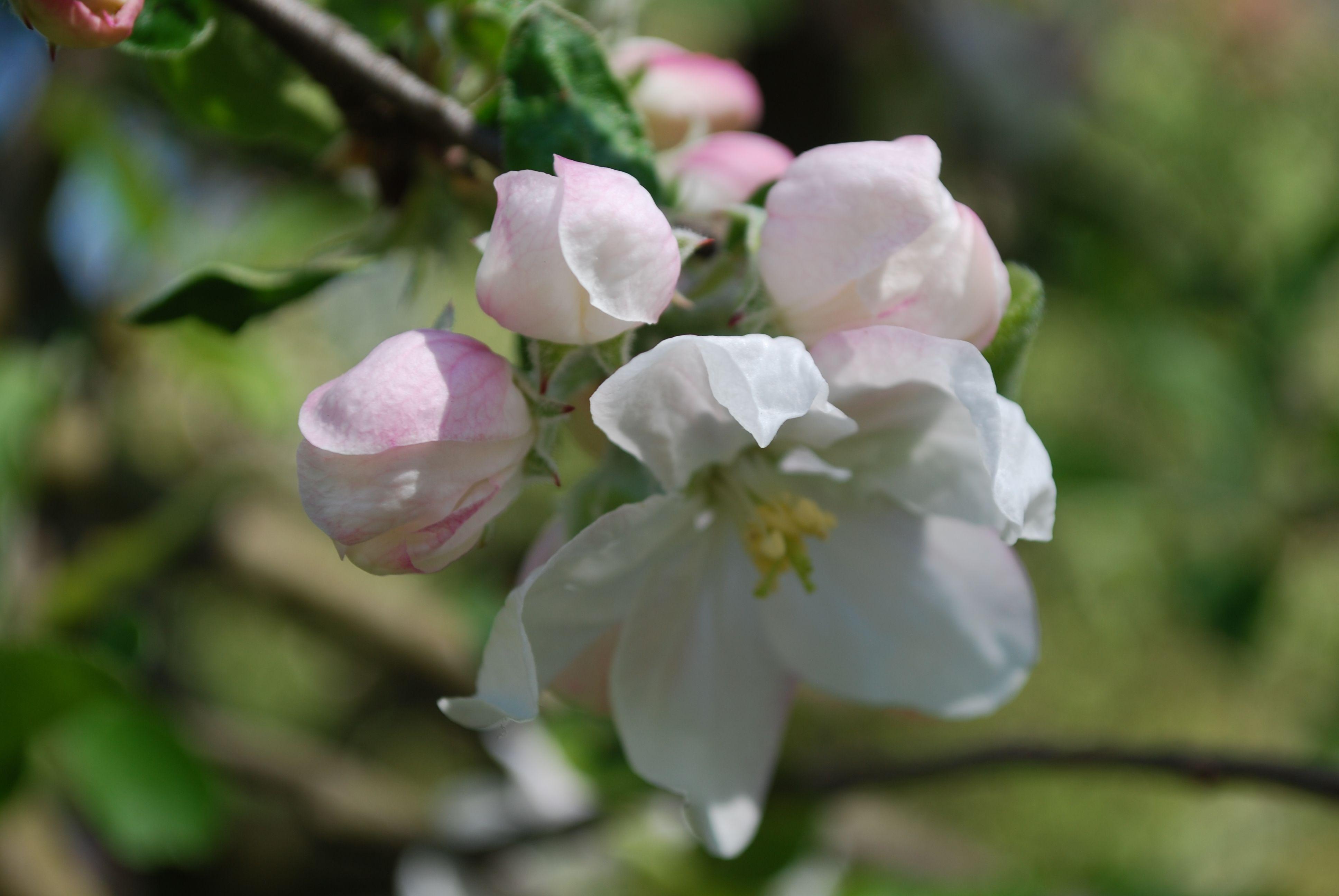 Apfelblüten... sooo zart! SWH