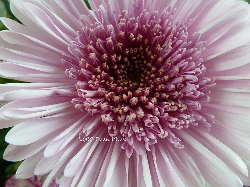 Heart of a gerbera daisy!