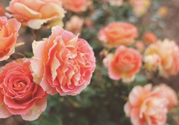 Peach Flower Photo Pink Floral Print Romantic Rose Garden Photography Boho Bedroom Decor Feminine Living Room Rose Wall Art Flower Picture is part of Rose garden Photography - Hello! Thank you for your interest in my photography   Title Rose Garden These gorgeous peach roses smelled divine!  Size Please select size of your choice from the drop down on the upper right  Bear in mind, depending on size there may be some cropping  An image of 8x10 will have some edging cropped out as opposed to say, an 8x12  All images will be mindfully cropped to size and will not affect the beauty of the image  If you have any questions, feel free to ask   Each photo is printtoorder on quality archival paper and will be shipped between 23 business days   Photos are printed with a lustre finish   Your photo will arrive unframed and unmatted, protected in a plastic sleeve and flat in a rigid photo mailer envelope  Prints larger than 11x14 will ship in a tube   Pink Rose Garden Print Photography Roses Floral Spring California Peach Wall Art Photo Pink Romantic Home Decor Living Room Cottage, Floral Photography
