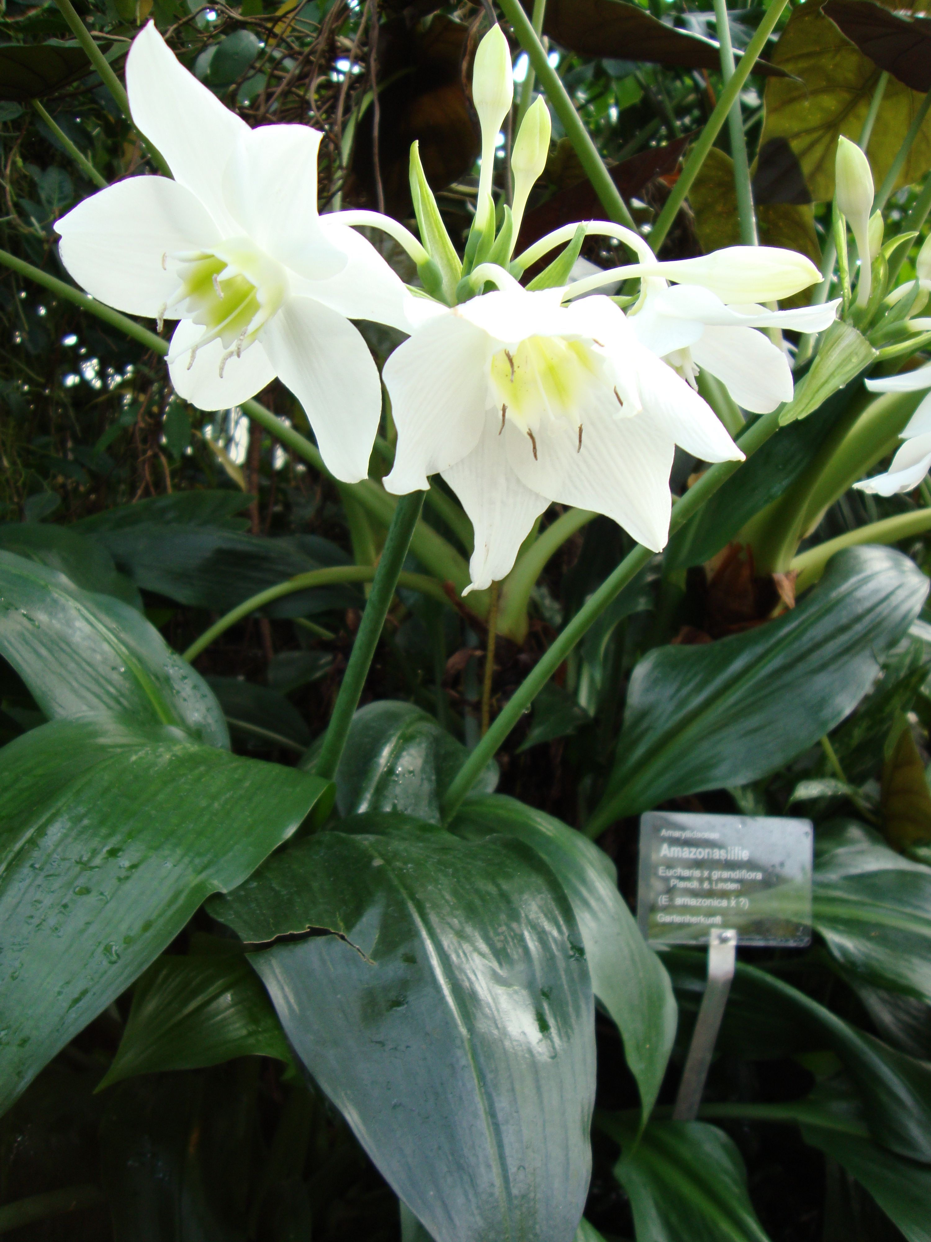 Eucharis Lily. Amazon lily belongs to the Family of ...